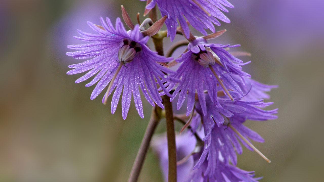 fleur-soldanelle